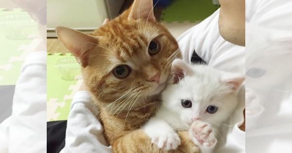 「絶対に離さないニャ!」預かることになった子猫を溺愛するニャンコが愛おしい