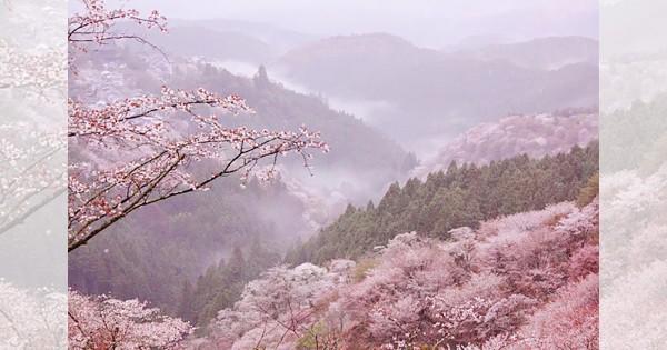 【お花見シーズンも終盤】これを見なきゃ終われない雨の日限定の桜景色