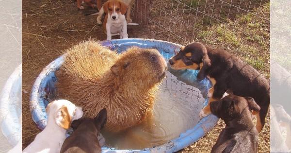 【悪そうなやつも大体友達】温厚すぎるカピバラが他の動物たちから愛されまくってる