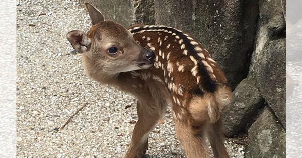 【人間のエゴを押し付けないで】宮島の子鹿が命を失う理由が悲しい