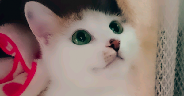 【今日のにゃんこ】透き通ったグリーンの瞳が美しい「みたらしちゃん」