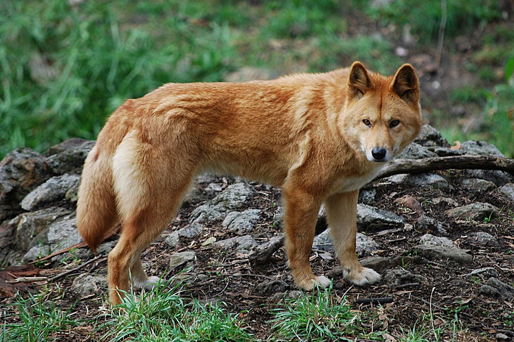 1280px-Canis_lupus_dingo_-_cleland_wildlife_park_R