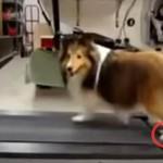 ランニングマシンをズルする犬←後脚が動いてないぞ!と注意すると…可愛すぎた
