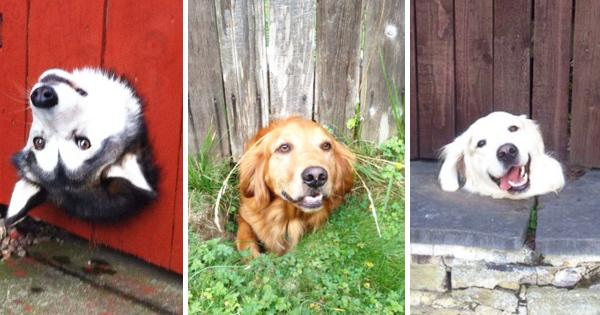 【必死すぎて構ってあげたくなる...】穴から人間に挨拶する犬16匹