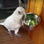オウムのエリック、ダイエット食に怒り!皿を投げるなどの暴挙にでる…笑