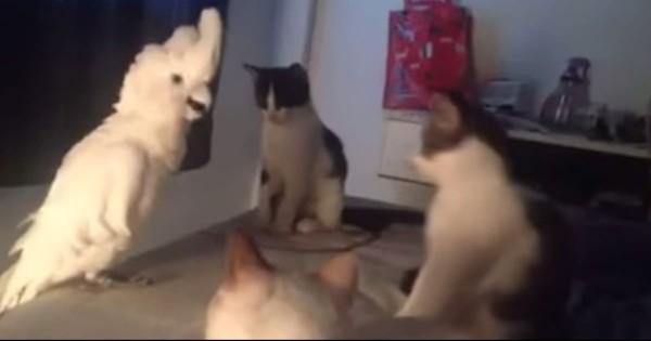 オウム、完璧な猫の鳴き真似で「ネコの集会に参加」するも明らかに疑われる