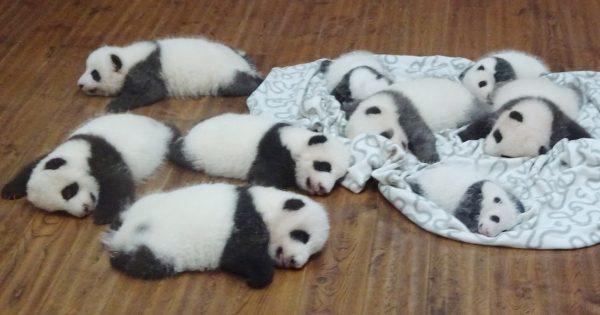 【違う意味で閲覧注意】子パンダは集団になると破壊力を増すとわかる14選