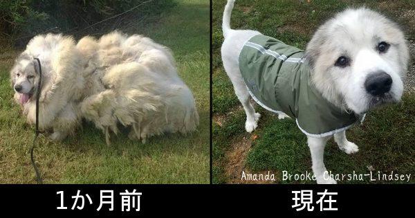 毛の重量15キロ!羊のような状態で発見されたラザロ、保護から1か月で大変身をとげる