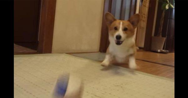 【おもしろ動画】ボール投げが楽しみすぎて、短い足でジタバタしちゃうワンコ