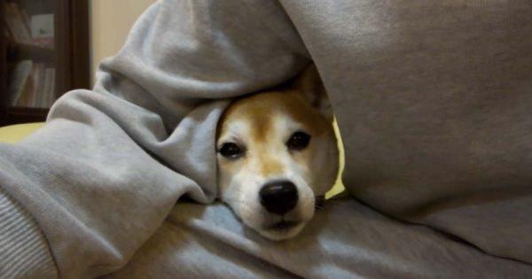 パパさんかまってください!かまって欲しい柴犬がかわいすぎる60秒動画!