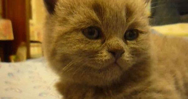 電池切れ!突然ねむりに落ちる仔猫の、期待を裏切らない寝落ち動画。(29秒)