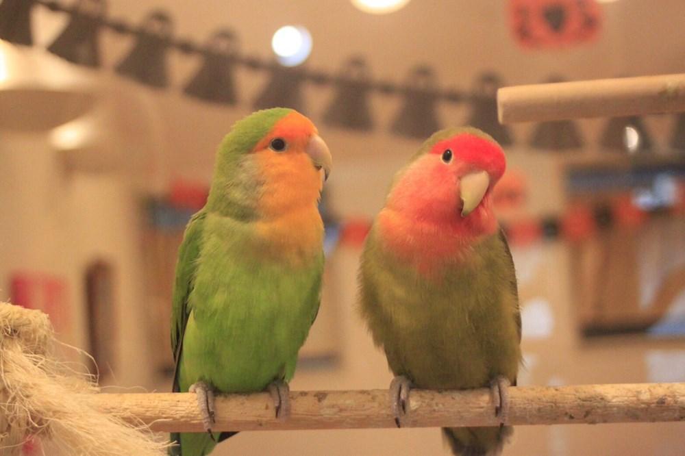 ことりカフェが、人気キャラ「ふろしき文鳥」をカレーに!可愛すぎて食べられない