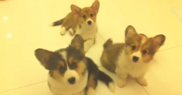 【24秒】遠吠えを練習する子犬たち。1匹がうまくできた時、他の2匹の反応が…