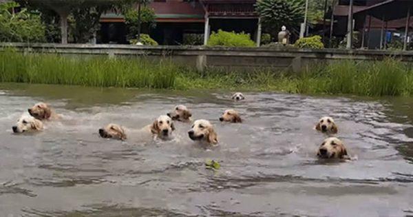 待ってワン!クロールで泳ぐ主を追う16匹のゴールデンレトリバー!