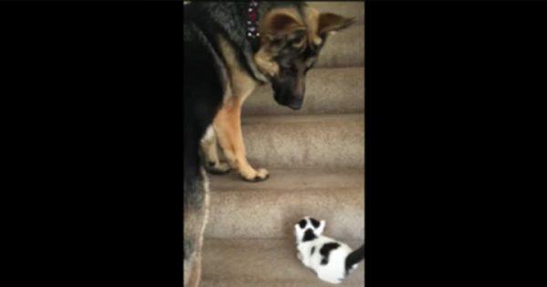 がんばって階段をのぼる子猫。それを見ていた大型犬が取った優しい行動とは?