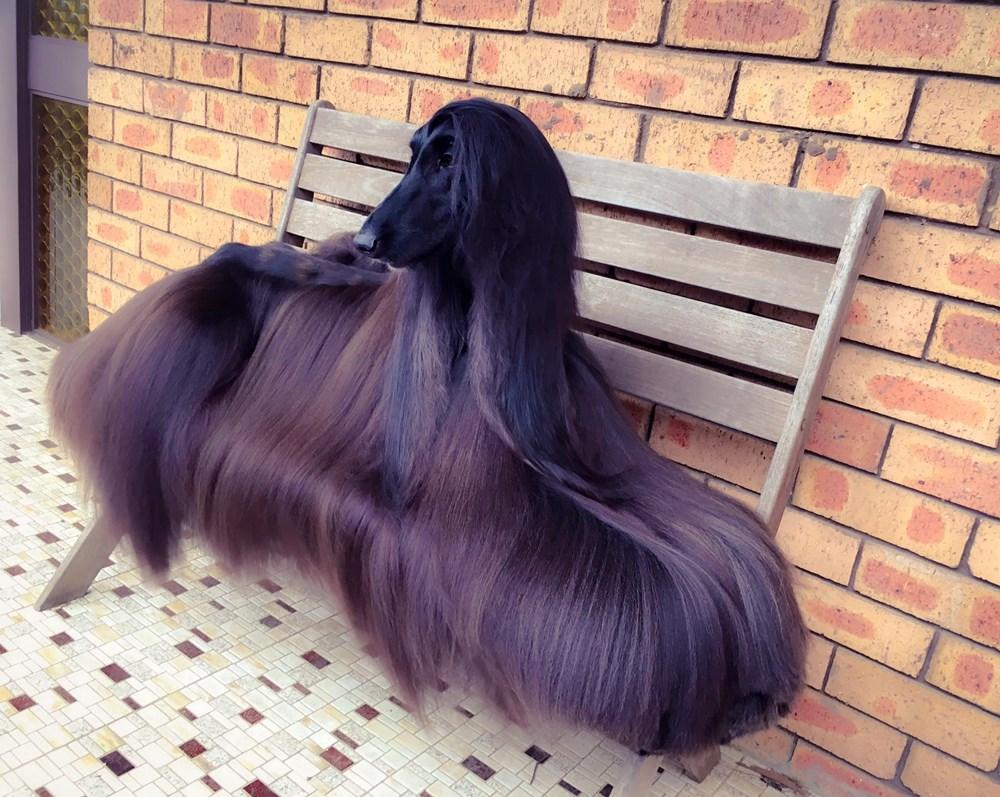 シャンプーのCMに出てそう… 世界一美しい犬と称されるアフガンハウンドのティーちゃん