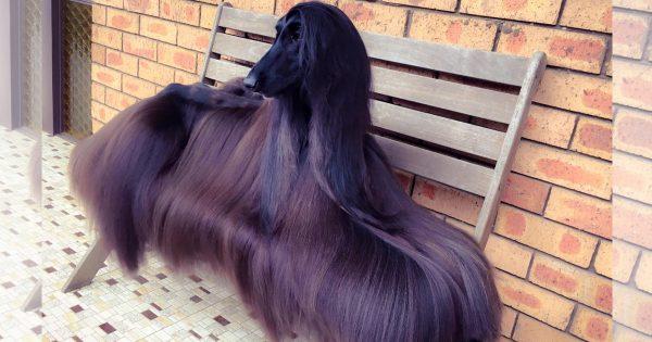 シャンプーのCMに出てそう… 世界一美しい犬と称されるワンコの美髪に見惚れる