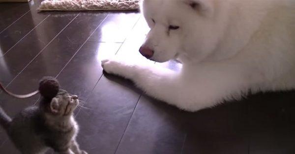 公園で保護された『イタズラ子猫』を、黙って見守る秋田犬!!