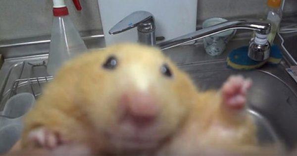 ハムスターの前歯カットの動画…キャラが濃くてオモシロイ!