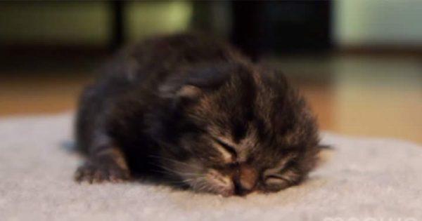 【超絶癒し】床の上を這って進む子猫。頑張りすぎて疲れて寝ちゃう姿が天使♡