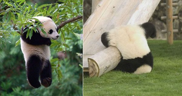 パンダから学ぶ「最強のだらけ方」14選