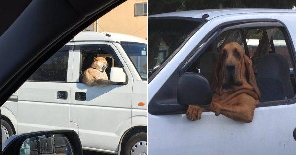 目撃情報多数!!!「犬、実は車を運転できる説」を裏付ける14の証拠