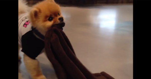 【胸キュン注意】クルクル回って毛布に包まるポメが反則級に可愛い!(14秒)