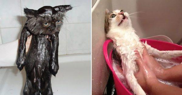 「毛繕いしてるから、いいって!」 お風呂嫌いな猫たち 15選