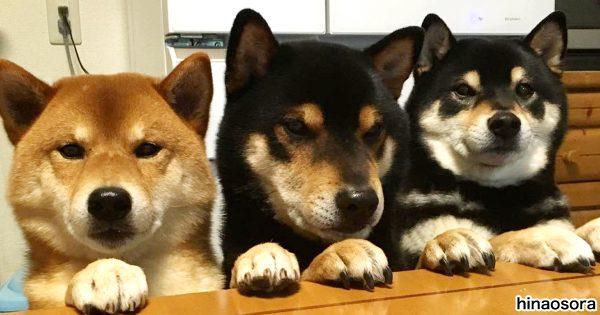 犬界のズッコケ3人組?! 柴犬トリオの1匹が天然すぎて笑っちゃう