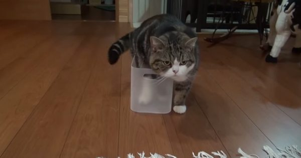 【吾輩に入れない箱はない】どうすれば入れるのか…試行錯誤するぽっちゃり猫