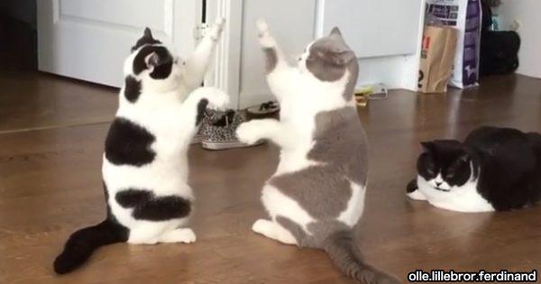 胸キュンの極み!隙あらば「アルプス一万尺」で勝負する猫トリオに爆笑
