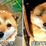 これ同じ犬?! 炭で遊んでた柴犬がやさぐれ顔の別犬になってて吹き出す