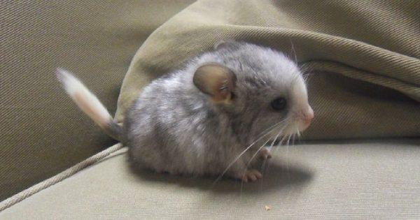 フサフサのシッポに大きな耳と目! チンチラの赤ちゃんが史上最高にカワイイ 10選