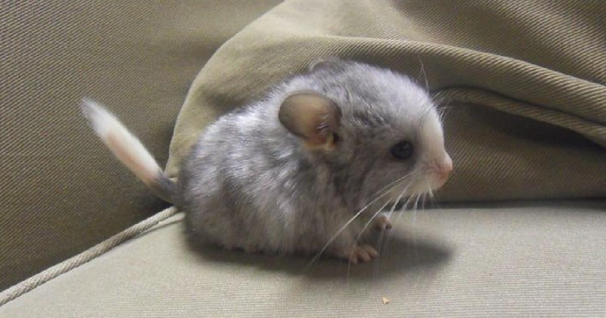 フサフサのシッポに大きな耳と目! チンチラの赤ちゃんが史上