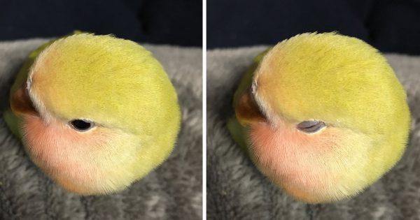 鳥は仮の姿・・・。テニスボールそっくりなコザクラインコが激写される