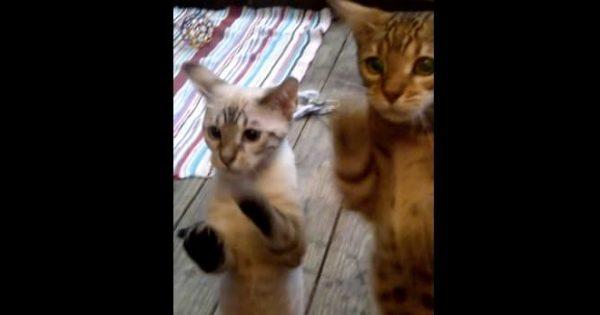 ずっと見ていたい!子猫2匹の必死な『入れてくれアピール』が可愛すぎる(*´∀`*)