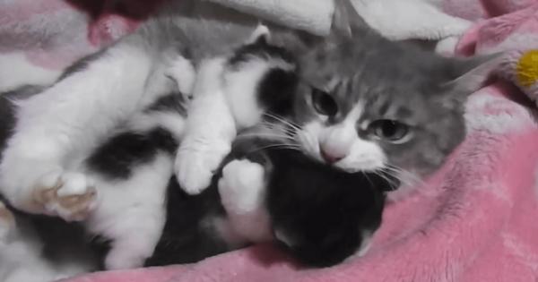 ステキな親の愛情。よってきた仔猫2匹を同時にギュッと抱きしめる母猫(42秒)