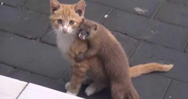 ギュ〜ッと抱きついたり甘噛みしたり、仔猫のことが大好きなイタチがかわいい