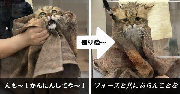 完全にヨーダ!トリミングで悟りの境地に至ったモフモフ猫の貫禄がスゴい