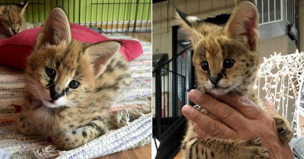 おっきな耳が可愛い! 密かに人気の猫「サーバル」が意外に人懐っこくてなごむ 20選