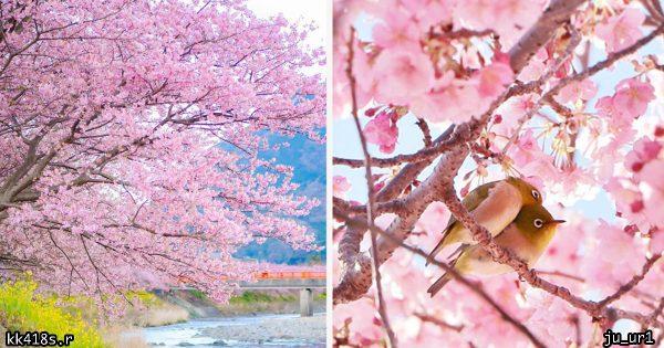日本の春は世界で一番美しい!見頃を迎えた「早咲きの河津桜」にうっとり