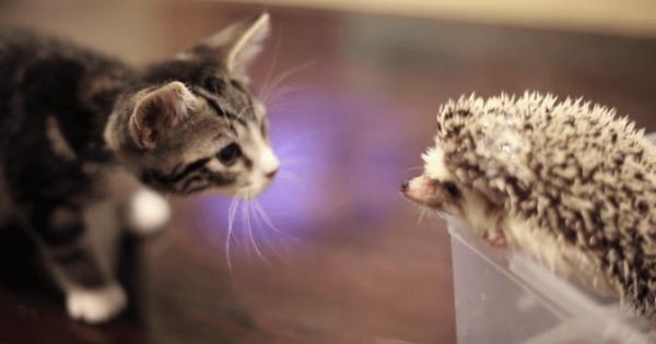 【ドキドキ】子猫とハリネズミの初めてのごあいさつ。2匹の反応に心温まる♡