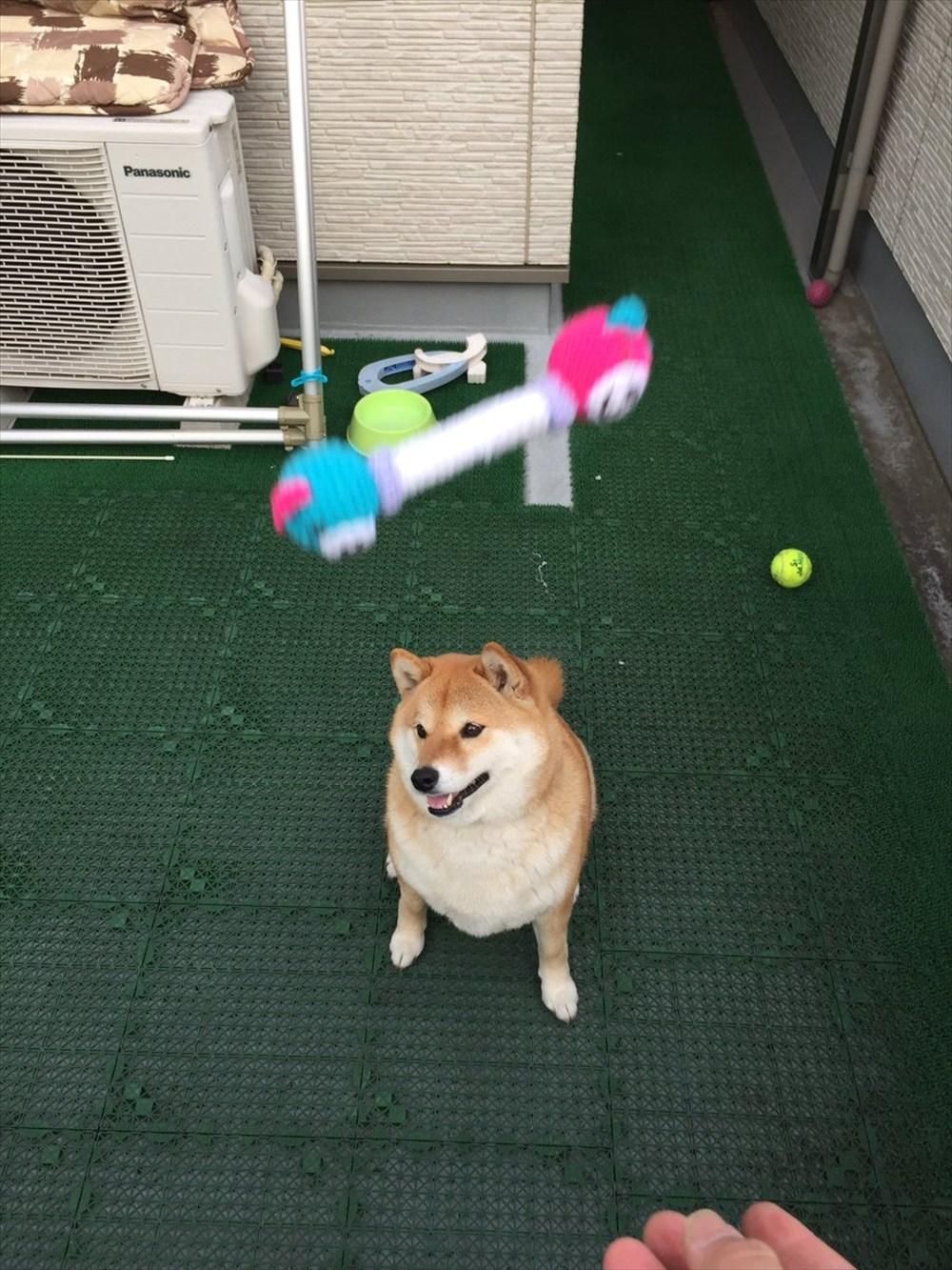 よそ見するからぁぁ! 自由すぎるワンコの柴犬ハナ、今度はオモチャキャッチ失敗