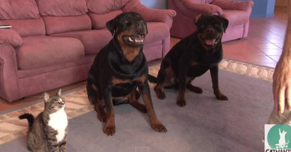 【衝撃】ネコだってやればできる!2匹の犬と一緒に披露する芸がスゴい!(22秒)