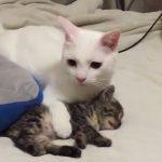 【感動】2匹の保護ネコ、突然の地震に驚きながらも子ネコを守る先輩ネコ。