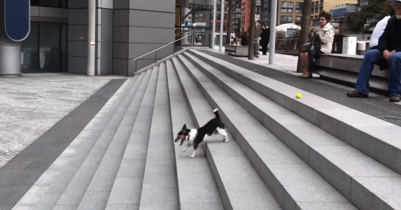 【天才!】階段を利用して、1人でボール遊びを完結させる賢い犬が発見される!