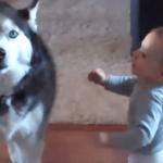 なんだこいつら(笑) ダダをこねまくる赤ちゃんと、それをひたすら真似る犬ww