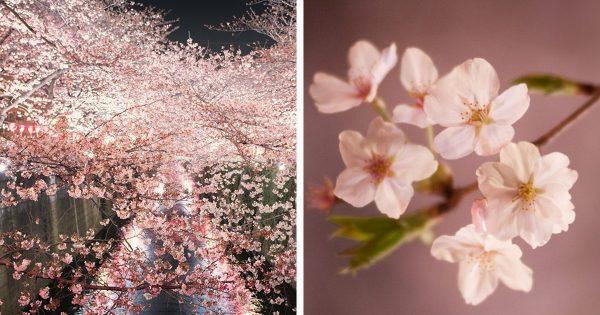 まだ間に合う♪目黒川の美しい桜に酔いしれる