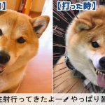 柴犬ハナちゃん。普段は超絶可愛いのに注射を打たれた瞬間豹変しすぎ!