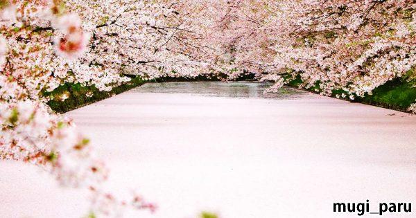 桜の絨毯に心を奪われる!桜が散ったら見頃の花筏(はないかだ)が美しい